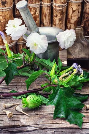 nightshade: Stems of herbaceous medicinal plants genus Datura Nightshade family