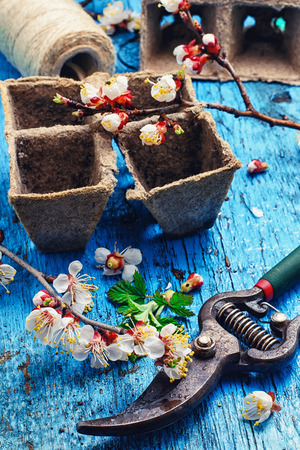 peat pot: Cut flowering branch of cherry,peat pot and the shears