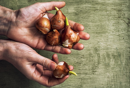 nature flowers: hands of the peasant with the bulbs Stock Photo
