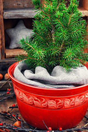 flower tree: sprig of Christmas tree red flower pot in the background of boxes with decorations. Stock Photo