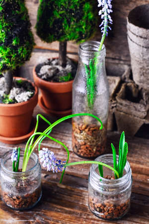 flowering plants: flowering plants hyacinths,sprouted in glass jars with drainage Stock Photo