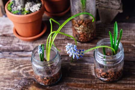 flower bunch: The sprouted sprouts of spring hyacinths in glass jars.Selective focus. Stock Photo
