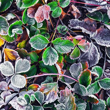 Cubierto de escarcha en los arbustos de fresas a principios de invierno
