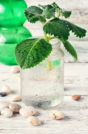 aquatic herb: Seedling of plant takes root in glass jar with water