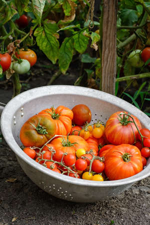 Harvested from bushes in garden, harvest of summer tomatoes Stock Photo