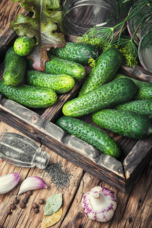 pickling: Fresh cucumbers for pickling