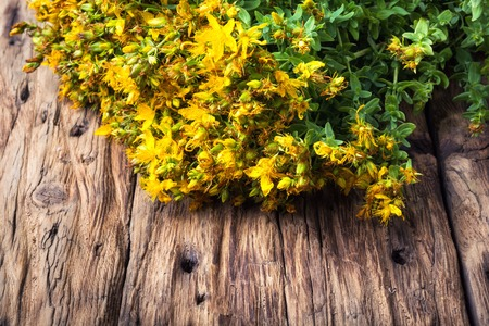 tutsan medicinal useful wild plant on a wooden background