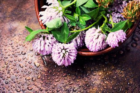 Clover or trefoil flower medicinal herbs.Healing herbs