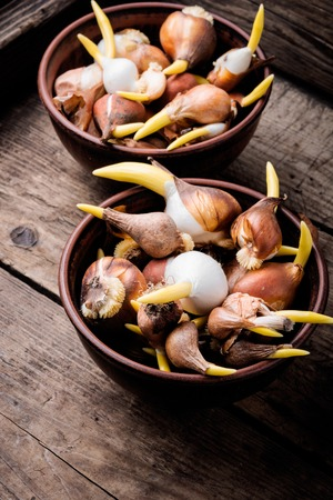 Bulbs of flowers ready for planting on wooden garden table Banco de Imagens
