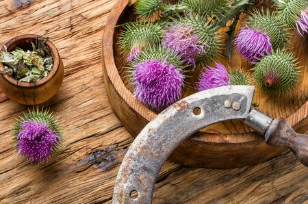 Medical plants flowers.Milk thistle or Silybum marianum