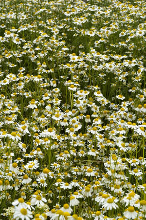 Homogeneous field of camomiles