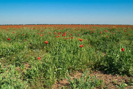 Field of blossoming poppies