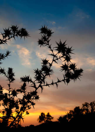 Sunset and the silhouette of spiny plants