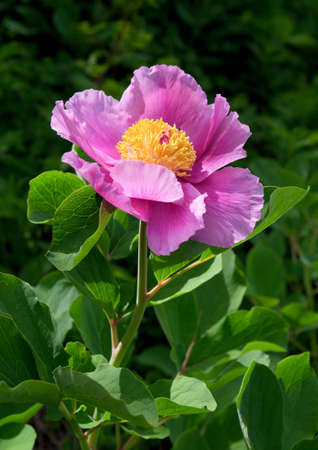 Purple flower of peony on green background Stock Photo