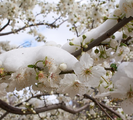 Flowers cherry tree covered with snow Stock Photo