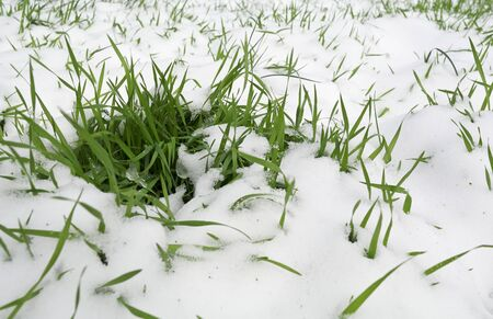 Young green grass sprouted through the snow