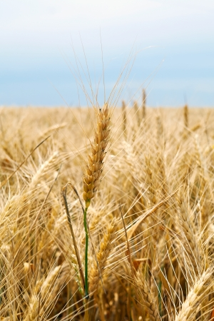 Mature wheatear, blurred field of wheat, part of the stem against the sky Stock Photo