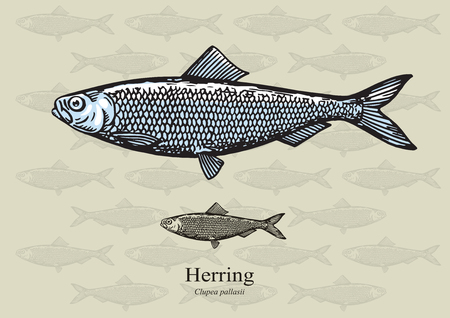 aquaculture: Herring. illustration for web, education examples, graphic and packaging design. Suitable for patterns and artwork in small sizes.