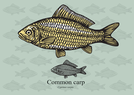 aquaculture: Carp. illustration for web, education examples, graphic and packaging design. Suitable for patterns and artwork in small sizes. Illustration