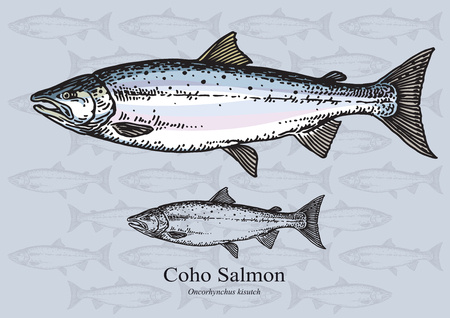 aquaculture: Coho salmon. illustration for web, education examples, graphic and packaging design. Suitable for patterns and artwork in small sizes.