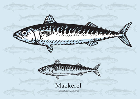 mackerel: Mackerel. illustration for web, education examples, graphic and packaging design. Suitable for patterns and artwork in small sizes. Illustration