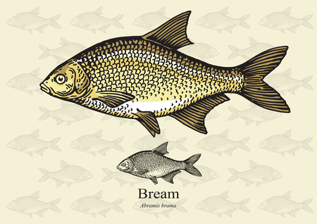 bream: Bream. illustration for web, education examples, graphic and packaging design. Suitable for patterns and artwork in small sizes.
