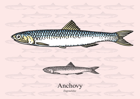 anchovy: Anchovy.  illustration for web, education examples, graphic and packaging design. Suitable for patterns and artwork in small sizes. Illustration
