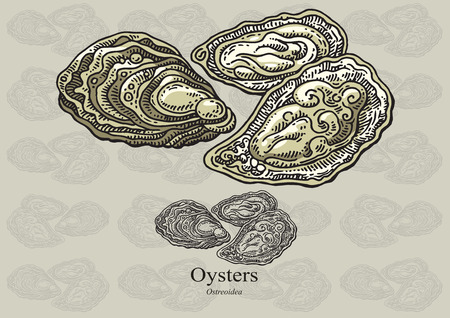 molluscs: Oysters Illustration