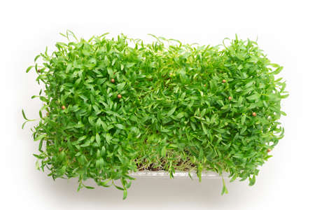 Fresh cilantro seedlings in plastic container isolated on white background. Stock fotó