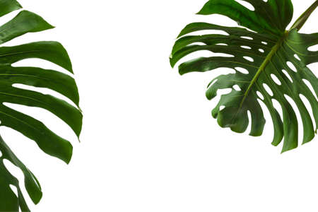 Green plant monstera isolated on a white background.