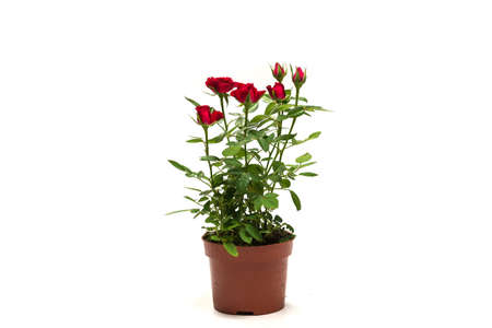 Red roses in a pot isolated on a white background. Imagens