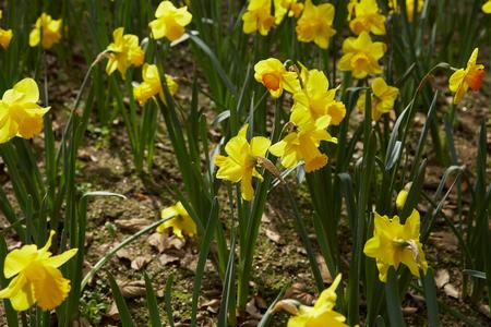 daffodils: Yellow daffodils closeup