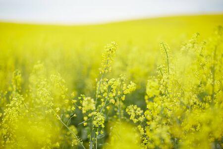 campo di colza con fiori gialli
