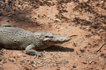 alligator eyes: Crocodile in Vietnam