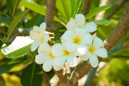 fioritura albero con fiori bianchi in Thailandia
