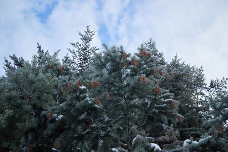 spruce: tops of spruce trees