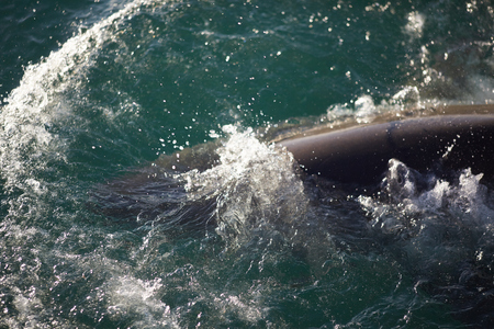 great danger: shark in the sea