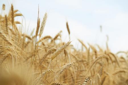 grain fields: spikelets of wheat in summer