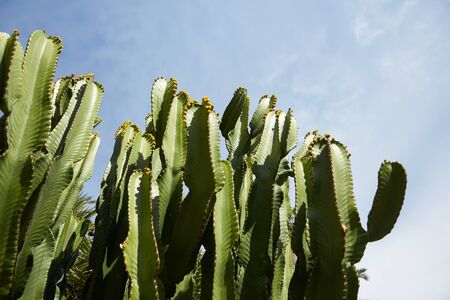 gran canaria: cactuses grow in Spain
