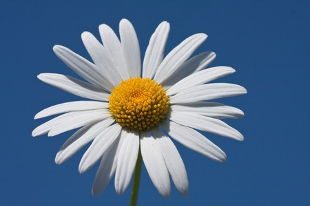 daisies on a background of blue sky photo