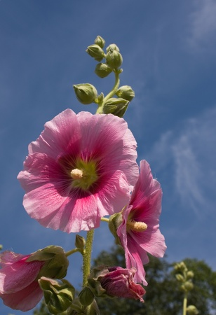 Beautiful malva (mallow) flower in close-up