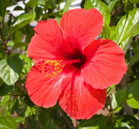 single leaf: Red hibiscus flower