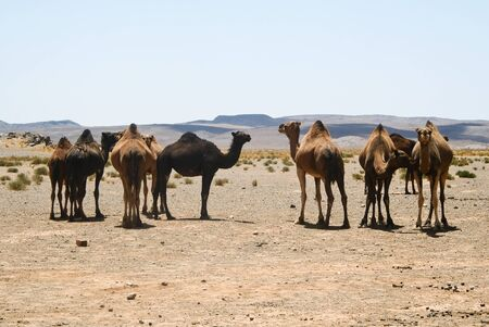 Camels in Sahara in Morocco