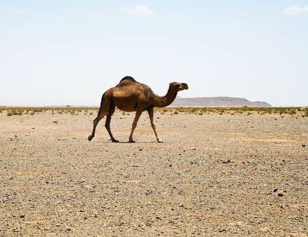 Camel in Sahara in Morocco Stock Photo