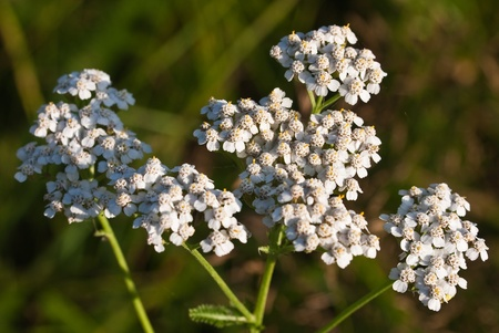 Milfoil inflorescence (macro) photo