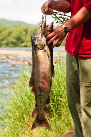 Man holds fish siberian salmon caught in river during tourist march. Kamchatka photo