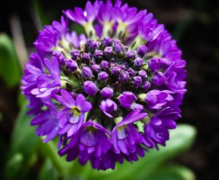 globular: Primula globular (serrulate) Stock Photo
