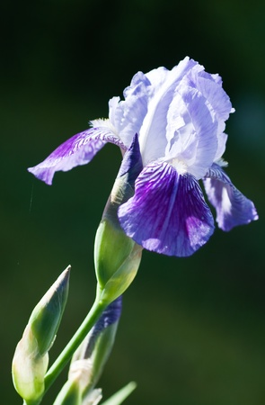 Close up of blooming iris.  Small depth to sharpness photo