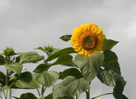some sunflowers on a field against blue sky photo