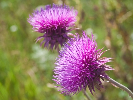 Milk Thistle  SILYBUM MARIANUM   Shallow depth of field